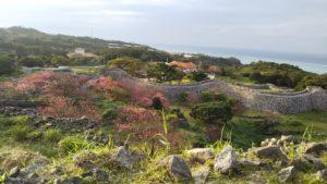 【沖縄】日本で一番早い寒緋桜 今帰仁城跡