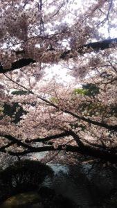 【東京】桜開花 おススメ花見スポット4選